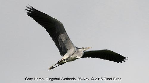 Heron, Gray, 20151106 (4) copy