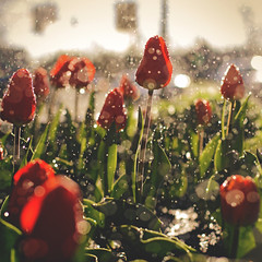 103 | 366 | V (Randomographer) Tags: red plant flower green nature wet water garden 50mm droplets spring bokeh h2o sprinkler tulip alive bulbous herb 103 perennial tulipa watering blooming herbaceous 366 project366