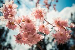 20160306-DSC_6167 (Kay's...) Tags: cherryblossom sakura   wuling wulingfarm