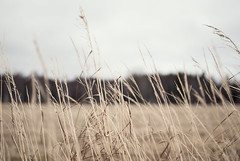 A restless longing for the greenery (Tove Paqualin) Tags: motion blur field grass 35mm spring nikon dof wind sweden blowing pale faded nikkor dull blades