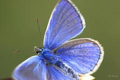 L'argus du papillon 13080 (philippe.poussibet) Tags: avignon argusbleu gps438937954901887