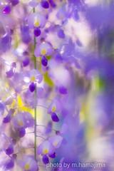 IMG20133__Japanese wisteria (m.hamajima) Tags: pentax k3  japanesewisteria