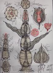 Tulipa Gesneriana 4 (kelemengabi) Tags: vortex nature sphere universal botany imaginary computation tulipa implosion cymatics gesneriana kymatik kelemengabi gabrielkelemen