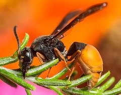 bicolor potter wasp with Stylopid pupa parasite (piggsyface) Tags: macro droplets wasp brisbane tokina pupa raynox potterwasp raynoxdcr150 ozothamnus pseudabispabicolor stylopid australianriceflower bicolorpotterwasp