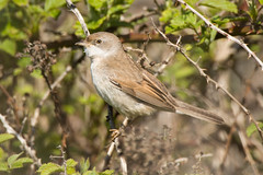 Whitethroat (Shane Jones) Tags: bird nikon warbler tc14eii whitethroat 200400vr d7200