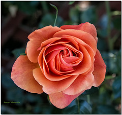 Anna's Promise (MyRidgebacks - Sharon C Johnson) Tags: flowers rose coralpink sunrays5 sharoncjohnsonphotography