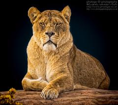The Princess (photoga photography) Tags: england nature animals canon wildlife lioness animalkingdomelite photogaphotography