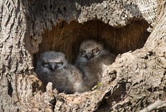 Open your eyes Bro (catoledo) Tags: nest wildlife chic birdofprey greathornedowl ephrata owlet nuthatcher
