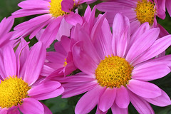 Radiant ... (fucsia_7) Tags: pink flower color vibrant daisy