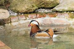 aves en Santianes de Pravia (Photo Valdueza) Tags: naturaleza de agua asturias mandarin reflejos patos santianesdepravia