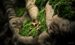 (N.H. || Photography) Tags: macro tree nature leaves closeup moss dof bokeh 10 olympus 60mm root em makro f28 omd mzuiko