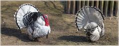 Von vorne und von hinten (Tatjana_2010) Tags: tiere vogel truthahn