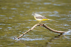 Grey wagtail (Shane Jones) Tags: bird nikon wagtail tc14eii greywagtail 200400vr d7200
