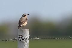 Wheatear in the morning sun (skees499 ) Tags: holland bird nature birds nikon natuur alblasserwaard d500 wheatear oenantheoenanthe tapuit keesmolenaar