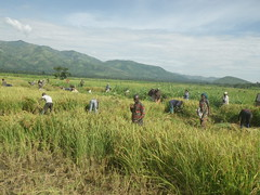 RIMG1062 (WorkingVillages) Tags: congo ruzizi wvi southkivu workingvillages