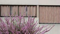 JOUR 98 : Faade fleurie. (Anne-Christelle) Tags: flowers fleurs nude beige arbre faade ros valdemarne ivrysurseine 365project projet365