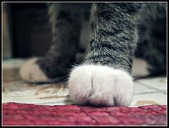 Patitas Rayaditas (MaPeV) Tags: cats canon chats chat tabby kitty gatos powershot gato kawaii neko katze morris paws gatti blancos felin gattoni patitas gattini g16 gantes tabbyspoted bellolindoguapetn