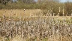 Im Sdermoor - vorjhrige Rohrkolben; Bergenhusen, Stapelholm (17) (Chironius) Tags: grass germany deutschland pantano erba peat swamp bottoms alemania grasses gras marsh moor bog marais allemagne germania schleswigholstein herbe sump grser ogie sumpf pomie typha   gramines typhaceae rohrkolbengewchse rohrkolben niemcy tourbire bergenhusen  poales  stapelholm turbera  pomienie marcageuse commeliniden ssgrasartige szlezwigholsztyn