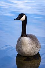 Bath time (D.Spence Photography) Tags: park canada nature geese pond alberta reddeer mckenzietrails