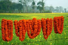 Nepal's marigolds (Kjunstorm) Tags: flowers nepal orange plant flower nature field landscape asia bright outdoor mustardfield chitwan marigolds nepali chitwannationalpark flowernecklace