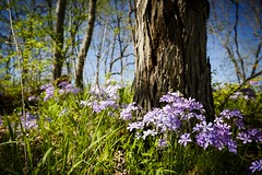 Shooting Star Trailhead (Notley) Tags: flower tree nature floral landscape spring outdoor trail missouri bark april serene 2016 10thavenue notley boonecountymissouri notleyhawkins missouriphotography httpwwwnotleyhawkinscom notleyhawkinsphotography shootingstartrailhead