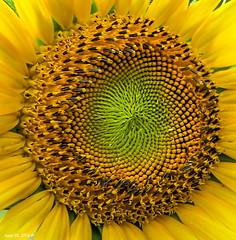 Making Sunflower Seeds (Denzil D) Tags: flowers sun yellow canon sunflower flowerphotography annualflower wifesflowers wifescamera