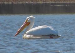 American White Pelican! (lily_britches) Tags: birds pelican waterfowl lakemonroe americanwhitepelican indianabirds stillwatermarsh birdsofindiana