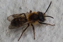 Tawny Mining Bee - [male] (Andrena fulva ) (Dan Newton) Tags: macro male bee invertebrate 2016 andrenafulva tawnyminingbee