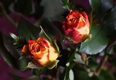 DSC_0859 Roses (PeaTJay) Tags: flowers roses plants macro nature rose gardens fauna reading flora sigma indoors micro closeups berkshire rosebuds lowerearley nikond750