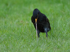 Early bird (cuppyuppycake) Tags: bird nature work insect early nikon outdoor eating worm blackbird d7200