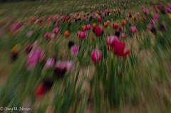 CMJ_3091 (cmj_rnrgrl) Tags: flower lensbaby virginia tulips farms haymarket burnside lensbabysweet56
