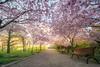 Seminarieparken (agnetaberlin) Tags: göteborg sony gothenburg sverige träd bänk allé körsbärsträd
