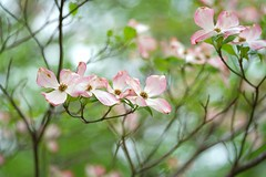 Pink dogwood (JPShen) Tags: pink green leaves leaf bokeh dogwood