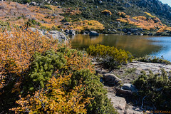 Tarn Shelf_4 (mckenart) Tags: autumn mountains landscape flora australia alpine tasmania wilderness fagus tarnshelf nothofagusgunii deciduousbeech