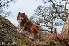 4/12/C  tasku - tree climbing (sure2talk) Tags: newforest treeclimbing finnishlapphund tasku nikond60 pigbush 412c 12monthsfordogs tamron18270mmf3563dillvcpzd 12monthsfordogs16