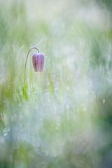 fritillaire pintade (YannW) Tags: flower nature fleur canon bokeh 300mm 6d mayenne fritillaire