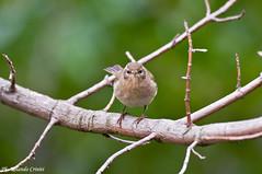 Lu piccolo _008 (Rolando CRINITI) Tags: birds natura uccelli uccello arenzano ornitologia lupiccolo