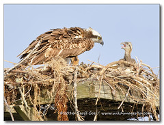 The Breaking Point (Geoff Coe) Tags: gulfofmexico chick hungry behavior osprey pandionhaliaetus leecounty squabble fortmyersbeach swflorida bowditchpoint 04a0931