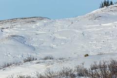 Sleepy Fox (Mathieu Dumond) Tags: trees sleeping snow canada cold animal canon spring wildlife sunny arctic fox april foxes nunavut spruce willows carnivore redfox kugluktuk 600mm vulpes renards mathieudumond umingmakproductions