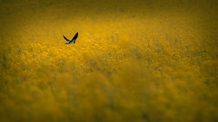 Bird on yellow ocean [Explore] (Jean-Luc Peluchon) Tags: hirondelle swallow jaune yellow colza color couleur nature france rural champ field oiseau bird explore fz1000 spring wow gorgeous incredible rapeseed rape