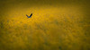 Bird on yellow ocean [Explore] (Jean-Luc Peluchon) Tags: france color bird nature field yellow rural jaune spring explore swallow oiseau hirondelle couleur champ colza fz1000