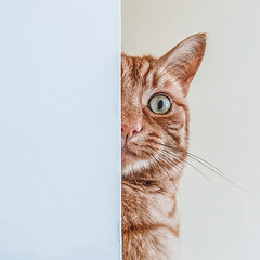 Peeping Tom (Rus) Tags: cat ginger squarecrop herbie nikeffex iphone6 adobecc