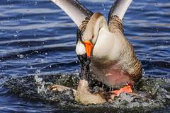 Geese Battle (BernieErnieJr) Tags: bird colorado wildlife rockymountains frontrange canadagoose greaterwhitefrontedgoose greatphotographers coloradowildlife teamsony sonylaea4adapter sony70400mmg2 sonya6300