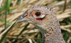 Pheasant (Female ) 210416 (1) (Richard Collier - Wildlife and Travel Photography) Tags: birds pheasant wildlife naturalhistory british birdportrait britishbirds