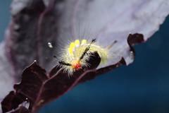 Macro Definite Tussock Moth (Orgyia Definita) (Michael Whay) Tags: macro sc canon insect moth southcarolina basil pest catapillar compactmacroef50mmf25 compactmacrocanon50mmf25