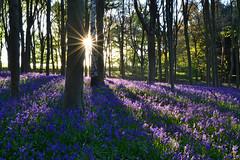 Barnsdale Bluebells (AndyorDij) Tags: uk trees england bluebells spring shadows unitedkingdom rutland rutlandwater barnsdale 2016 barnsdalewood barnsdalecreek barnsdalehill