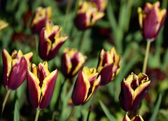 Purple & Yellow (Keith Mac Uidhir  (Thanks for 3.5m views)) Tags: ireland dublin flores flower green fleur yellow fleurs spring purple tulips blumen irland tulip dublino irlanda irlande flore bloem ierland irska dubln irlandia lirlanda irsko  airija irlanti  cng  iirimaa ha     rorszg         rlnd