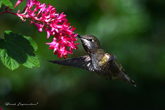 Anna's Hummingbird (Female) (Boreal Impressions) Tags: hummingbird hummer pacificcoast annashummingbird trochilidae calypteanna apodiformes annashummingbird iridescentemeraldfeathers sparklingrosepinkthroat
