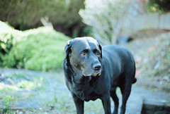 Misty (R Palmer) Tags: film misty labrador kodak portra 160