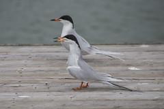 Common Tern (blergh.) Tags: ontario canada bird nikon wildlife birding common 70300mm tern d600